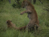 Pair of Leopards Courting in Green Grass