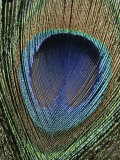 Close View of a Colorful Peacock Feather