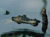 Submerged Cuban Crocodile Holding It's Head Above Water