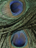Close View of Colorful Peacock Feathers