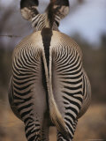 Close View of Rear End Pattern of a Grevy's Zebra