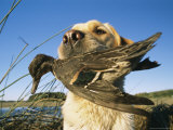 Yellow Labrador Retrieves a Duck From the Back River