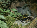 Salamander Perches on a Rock Among the Foliage