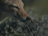Black-Backed Jackal  Canis Mesomelas  Sniffs a Locust