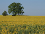 Pair of Trees Stand Among a Field of Yellow Flowers