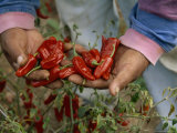 Migrant Worker Displays a Handful of Fresh-Picked Chili Peppers