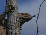 Monitor Lizard Sensing with a Forked Tongue  Clings to a Tree Trunk