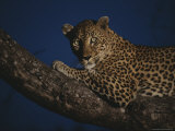 Leopard Rests on a High Tree Limb