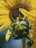 Close View of a Sunflower Bud