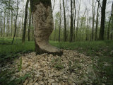 Beaver Damage is Apparent on a Tree in the Woods
