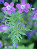 Close View of a Herb Robert Geranium