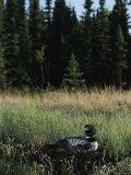 Common Loon  Kenai Peninsula  Alaska