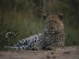 Leopard  Panthera Pardus  Resting on a Patch of Cool Soil