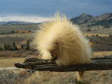 An Albino Porcupine Sits on a Tree Limb