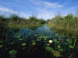 Water Lilies Bloom in a Slough Through a Wetland Reserve