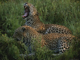 Pair of Leopards Rest and Yawn in Green Grass