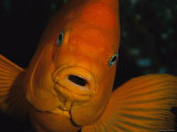 Portrait of a Garibaldi Fish