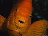 Portrait of a Garibaldi Fish