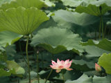 Blooming Lotus Water Lily Flower
