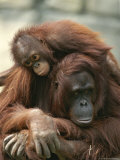 Mother Orangutan with Her Young