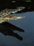 Crocodile with an Open Mouth Casts a Reflection on Calm Water