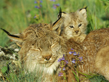 Mother Canadian Lynx Rests as Her Young Looks Around