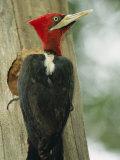 Robust Woodpecker  Iguazu National Park