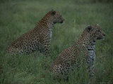 Pair of Leopards Sit Alert in a Grassy Field