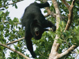 Black Howler Monkey Calls in a Tree