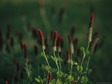 Cluster of Crimson Clover Blossoms