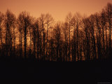 Hardwood Trees Make a Silhouette at Sunset
