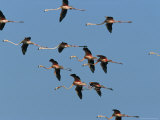 Caribbean Flamingos Fly Above Their Swampy Rookery