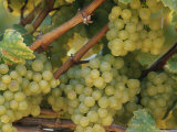 Close View of Grape Clusters on the Vine