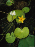 Heart-Shaped Water Lily Leaves and Delicate Blossoms