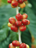 Close View of Coffee Berries