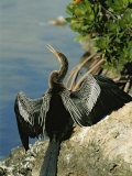 An American Anhinga Flaps Its Wings