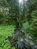 Temperate Rain Forest and Creek in Tongass National Forest  Alaska