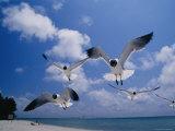 Laughing Gulls  Florida