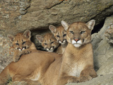 Mountain Lion Mother with Her Young Sits at the Mouth of a Cave