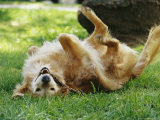 Golden Retriever Named Teddy Rolling Around Playfully