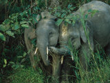Pair of Young Asian Elephants Interact in Jungle Foliage
