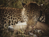 Leopard Bites Into the Neck of Its Fallen Prey