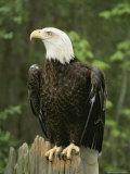 An American Bald Eagle Perches Atop a Tree Stump