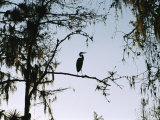 Silhouetted Great Blue Heron in a Spanish Moss Draped Cypress Tree