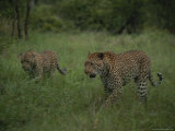 Pair of Leopards Walk Through Green Grass