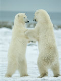 Pair of Polar Bears Engage in a Sparring Match