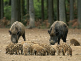 Group of Young Wild Boars Nose the Ground in Front of Two Adults