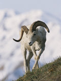 Dall's Sheep  Ram  Denali National Park  Alaska