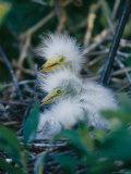 Great Egret Babies  Florida