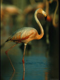 Graceful Caribbean Flamingo Walks Through Water